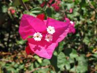 Fiore a Panarea