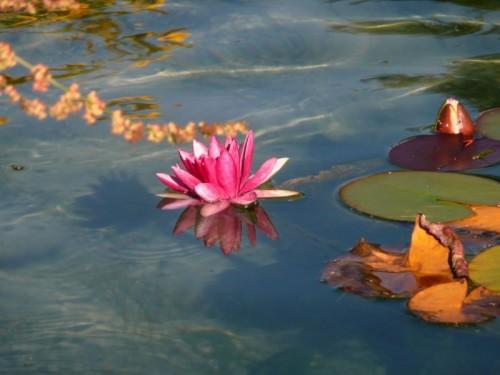Chienes - Una ninfea nella fontana