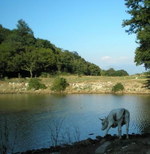 Sesto Campano - mucca ad una fontana naturale