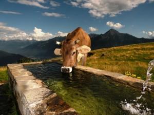Mucche a Montalto