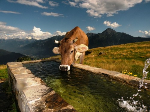 Montemezzo - Mucche a Montalto