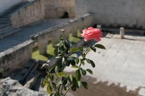 Fontana di Laterza con rosa in primo piano