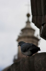 Il piccione,osservatore