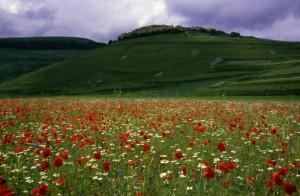 Castelluccio - la fioritura