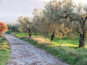 cassia antica e ulivi