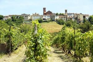 Olivola tra le vigne