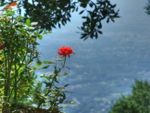 Un rosa in primo piano