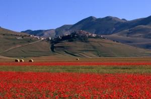 fiorita a Castelluccio di Norcia