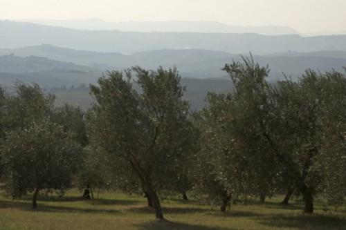 Pienza - Ulivi