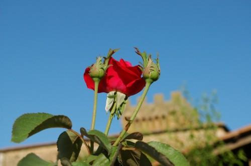 Pienza - SPEDALETTO .......una rosa per la regina