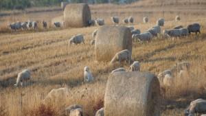 il guardiano delle pecore