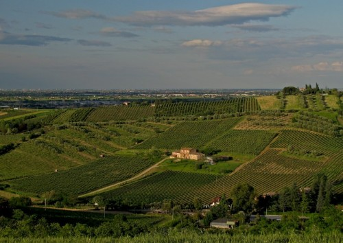 Bertinoro - Filari a non finire di Albana e Sangiovese