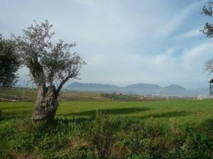 l'olivo e la dormiente