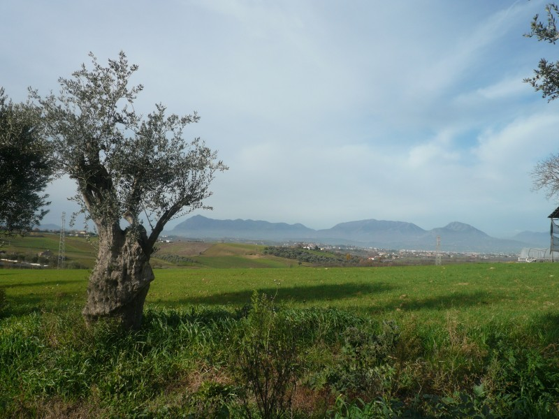 ''l'olivo e la dormiente'' - San Giorgio del Sannio