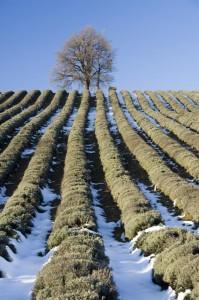 Campo di lavanda invernale