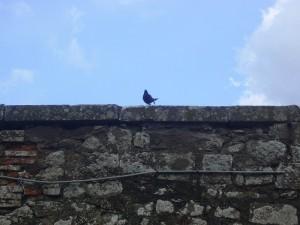 Oggi non mi sono fatto mancare nulla…un merlo su un muro della Rocca dei Papi…A Montefiascone merli e gatti, a Marta le Anatre.