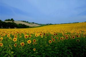 campagna maceratese…vestita di giallo…
