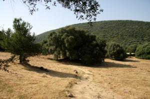 Un ulivo di 4000 anni