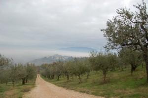 Montefalco vista tra gli uliveti