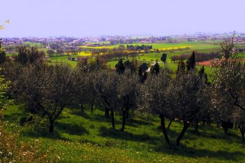Assisi - Gli uliveti di Assisi
