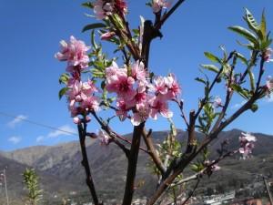 Fiori rosa fiori di pesco … vigna a Pomaretto, Val Germanasca