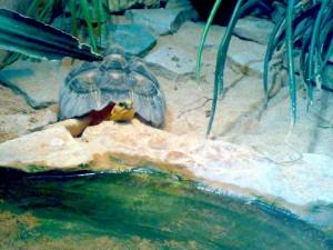 tartaruga nel suo habitat