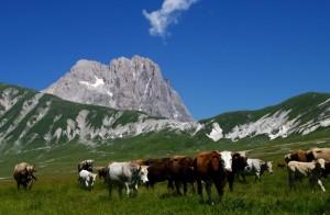 Mucche sorvegliate da un pastore imponente