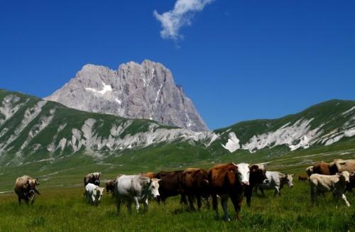 Isola del Gran Sasso d'Italia - Mucche sorvegliate da un pastore imponente