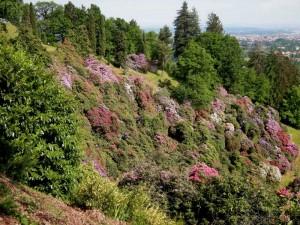 rododendri al Parco della Burcina (Felice Piacenza)
