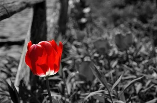 Fiumalbo - tulipano rosso