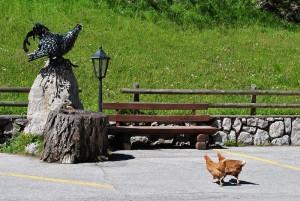 Che brutto è quel gallo nero…
