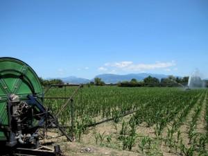 Il mais ha bisogno di tanta acqua.  Qui vicino c'è il Sele, per fortuna.